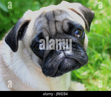 Upset puppy pug - Stock Photo