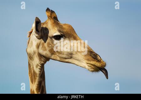Southern Giraffe (Giraffa giraffa), female sticking out her tongue, close-up, portrait, Kalahari Desert - Stock Photo