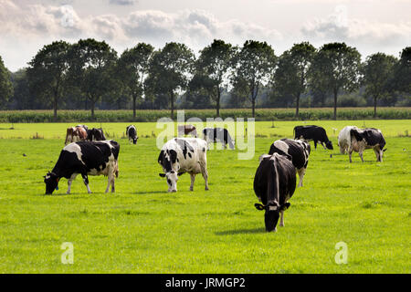 Black and white Holstein Friesian cows grazing in grassland.