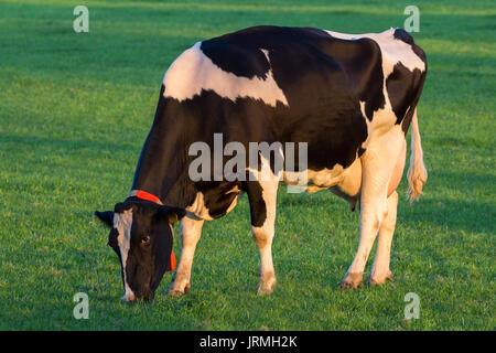 Black and white Holstein Friesian cow grazing in grassland.
