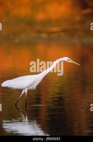 Great Egret or Great White Egret,(Casmerodius albus or Ardea albus), Keoladeo Ghana National Park, Bharatpur, Rajasthan, - Stock Photo