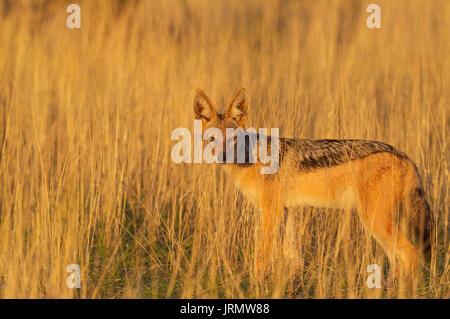 Black-backed Jackal (Canis mesomelas), standing in grassland, Kalahari Desert, Kgalagadi Transfrontier Park, South - Stock Photo