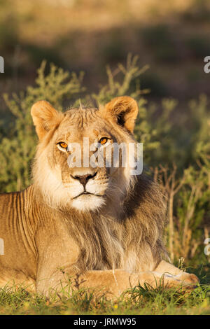 Lion (Panthera leo), male, resting, portrait, Kalahari Desert, Kgalagadi Transfrontier Park, South Africa - Stock Photo