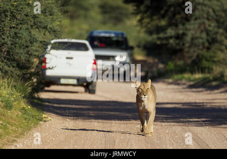 Lionness (Panthera leo), female walking on a road, behind it tourist vehicles on a game drive, rainy season in green - Stock Photo