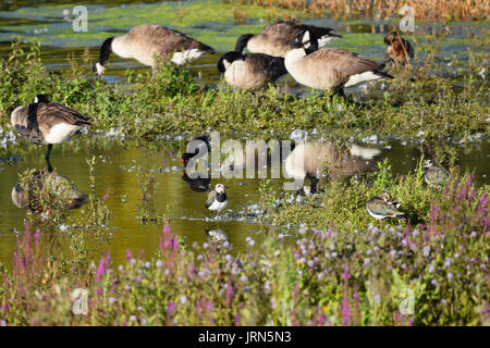 Lapwing wildlife bird with moorhen and Canada geese in shallow water in summer - Stock Photo
