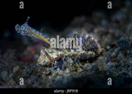 Fingered Dragonet (Dactylopus dactylopus) in the Lembeh Strait / Sulawesi / Indonesia - Stock Photo