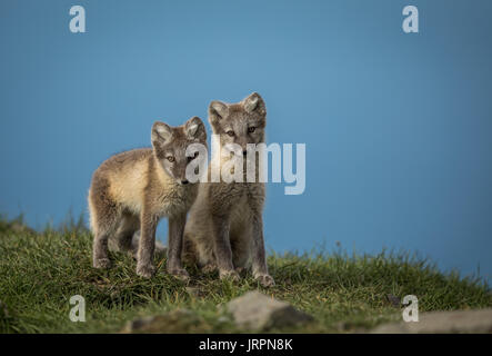 Arctic fox two cubs standing on grass with blue sky above, Svalbard - Stock Photo