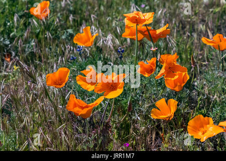 Antelope Valley California Poppy Preserve Wildflowers - Stock Photo