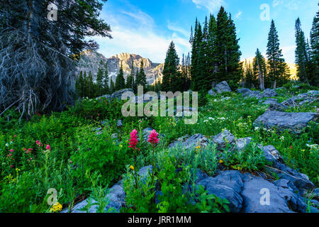 Summer high country wildflowers in Albion Basin mountain area - Stock Photo