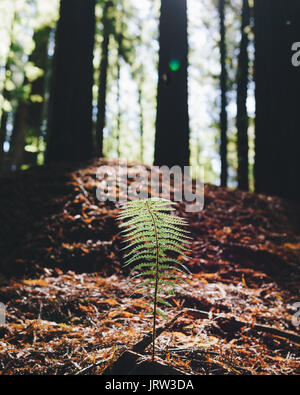 Lone fern sticking out from the pine needles and capturing the golden light of the redwood forest in the Otway Ranges, - Stock Photo