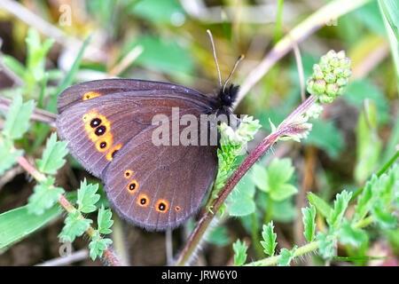 Mountain Ringlet butterfly (Erebia epiphron), Eifel Mountains, Germany. - Stock Photo