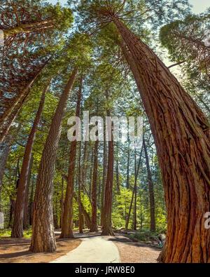 Yosemite National Park - Mariposa Grove Redwoods - California. Vertical panorama distorts the trees and exaggerates - Stock Photo