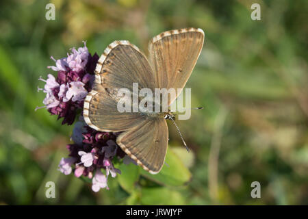 Chalkhill blue butterfly (Polyommatus coridon) on wildflowers at Stockbridge Down in Hampshire, UK - Stock Photo