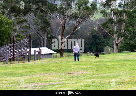 Woman walking her dog on a farm in Australia crossing a paddock towards distant buildings and eucalyptus trees in - Stock Photo