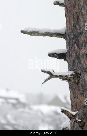 Pine tree trunk with snow covered broken bare branches - Stock Photo
