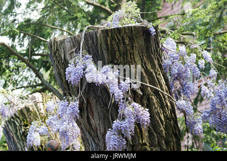 Purple wisteria growing on an old tree stump - Stock Photo