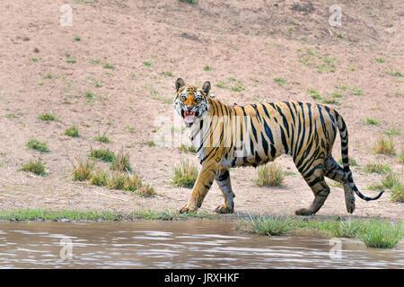 Royal Bengal Tiger or Panthera Tigris or Indian Tiger doing Flhemen response at Bandhavgarh National Park,Madhyapradesh - Stock Photo