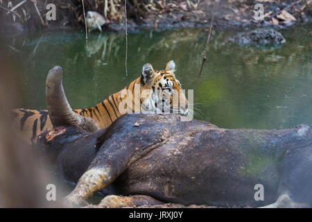 Royal Bengal Tiger or Panthera tigris tigris or Indian Tiger on a kill relaxing on the waterbody in Tadoba National - Stock Photo