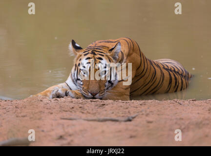 Royal Bengal Tiger or Panthera tigris tigris or Indian Tiger relaxing on the water in Tadoba National park, Maharashtra, - Stock Photo