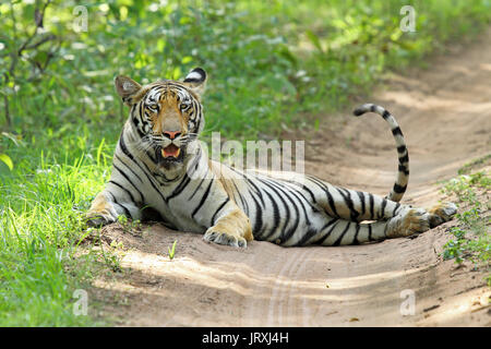 Royal Bengal Tiger or Panthera Tigris Tigris or Indian Tiger sitting on the road at Tadoba National Park, Maharashtra - Stock Photo