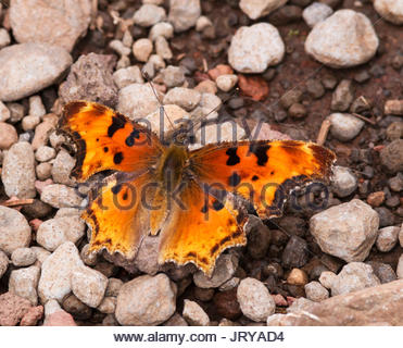 Satyr Comma, Polygonia satyrus, Satyr Anglewing, Butterfly,  in Arizona - Stock Photo