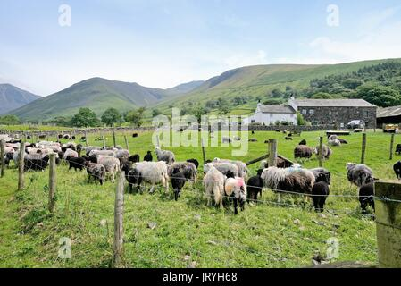 Flock of Herdwick sheep at Wasdale Head Lake District Cumbria UK - Stock Photo