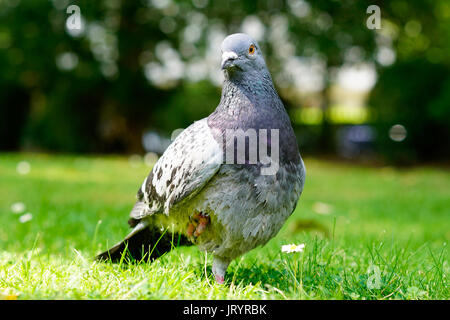 Portrait of an Injured Pigeon in London - Stock Photo