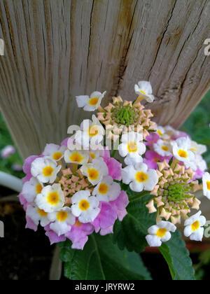 Flowers of lantana on wood - Stock Photo
