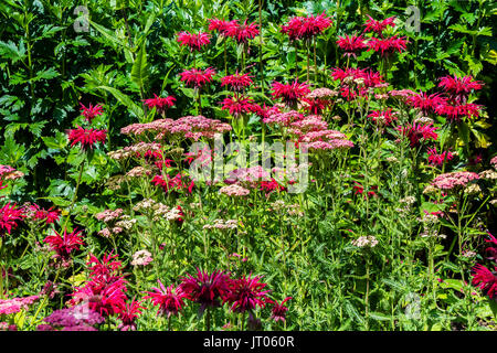 Dark Pink Monarda and Achillea flowers in a herbaceous border. - Stock Photo