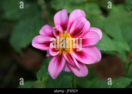 Bee sucking nectar from flower with pink petals - Stock Photo