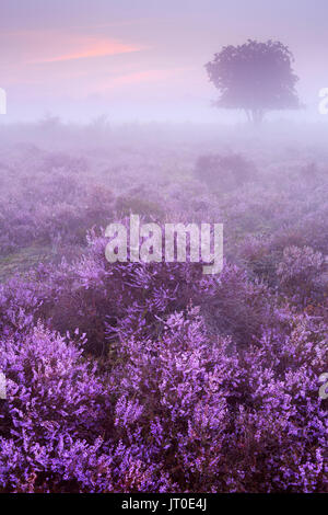 Blooming heather on a foggy morning at dawn. Photographed near Hilversum in The Netherlands. - Stock Photo