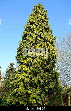 Northern white-cedar Latin name Thuja occidentalis - Stock Photo