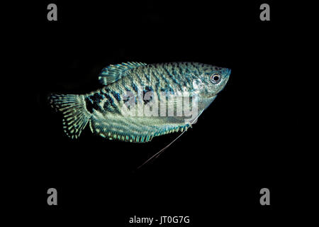 BLUE GOURAMI trichogaster trichopterus AGAINST BLACK BACKGROUND - Stock Photo