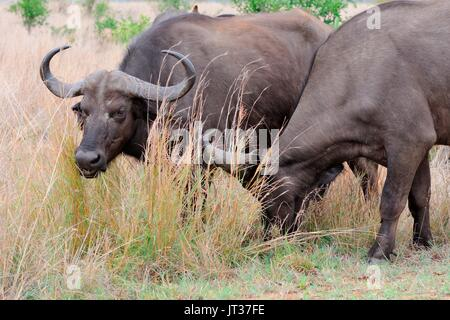 African buffaloes or Cape buffaloes (Syncerus caffer), feeding on grass, Kruger National Park, South Africa, Africa - Stock Photo