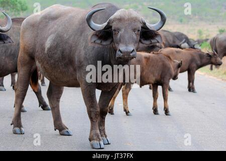 African buffaloes or Cape buffaloes (Syncerus caffer), herd crossing a paved road, Kruger National Park, South Africa, - Stock Photo