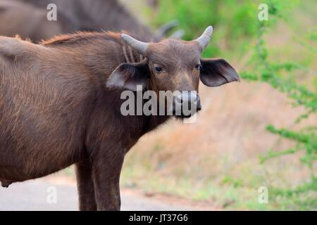 African buffalo or Cape buffalo (Syncerus caffer), young male on a paved road, Kruger National Park, South Africa, - Stock Photo