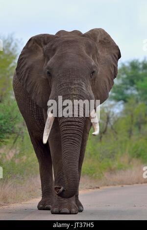 African bush elephant (Loxodonta africana), bull walking on a paved road, Kruger National Park, South Africa, Africa - Stock Photo