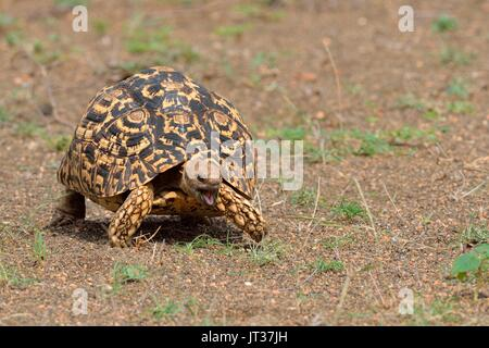 Leopard tortoise (Stigmochelys pardalis), moving, mouth open, Kruger National Park, South Africa, Africa - Stock Photo