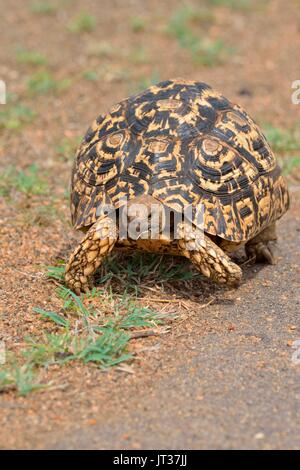 Leopard tortoise (Stigmochelys pardalis), moving along a paved road, Kruger National Park, South Africa, Africa - Stock Photo