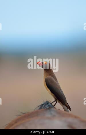 Red-billed oxpecker (Buphagus erythrorhynchus) eating ticks on the back of a Blue wildebeest (Connochaetes taurinus),Kruger - Stock Photo