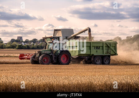 Combine harvester transferring harvested wheat in to tractor trailer in rural Essex field - Stock Photo