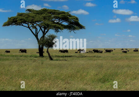 A herd of Elephants grazing in the grasslands of the Serengeti - Stock Photo