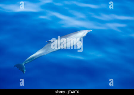 Indo-Pacific Bottlenose Dolphin (Tursiops aduncus) about to surface in the glassy calm sea - Stock Photo
