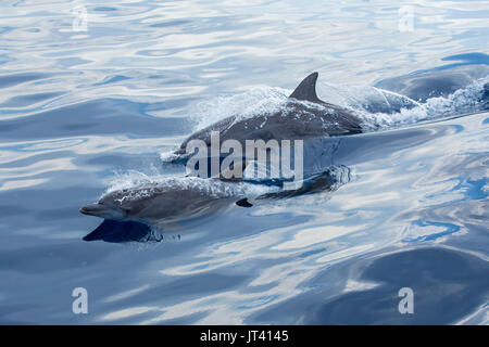 Indo-Pacific Bottlenose Dolphin (Tursiops aduncus) surfacing in the glassy calm sea - Stock Photo