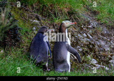 Yellow-eyed Penguin (Megadyptes antipodes) mother and baby leaving their nest - Stock Photo