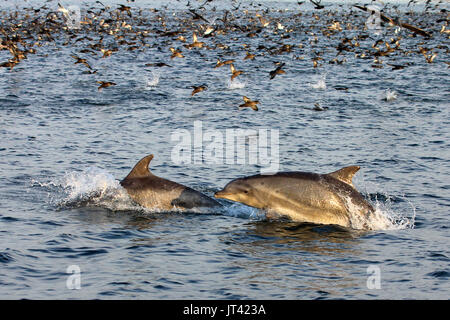 Common Bottlenose Dolphin (Tursiops truncates) at a feeding frenzy off the Fisherman's Wharf of Monterey at sunset - Stock Photo