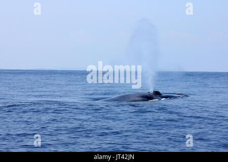Pygmy Blue Whale or Great Indian Blue Whale (Balaenoptera musculus indica) off Trincomalee, coming up to take a - Stock Photo