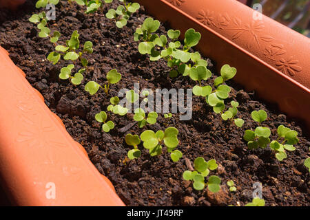 Rocket salad seedlings (Aragula) emerging from the soil, planted in a rectangular flower pot in rows - Stock Photo