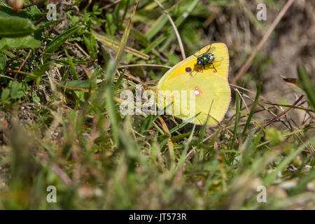 Clouded yellow or Colias croceus butterfly in landscape format with copy space on grass with a green bottle fly - Stock Photo