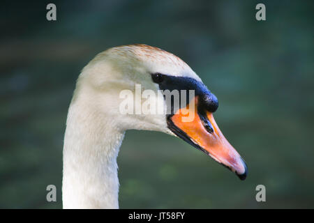 Close-up portrait of an adult swan - Stock Photo